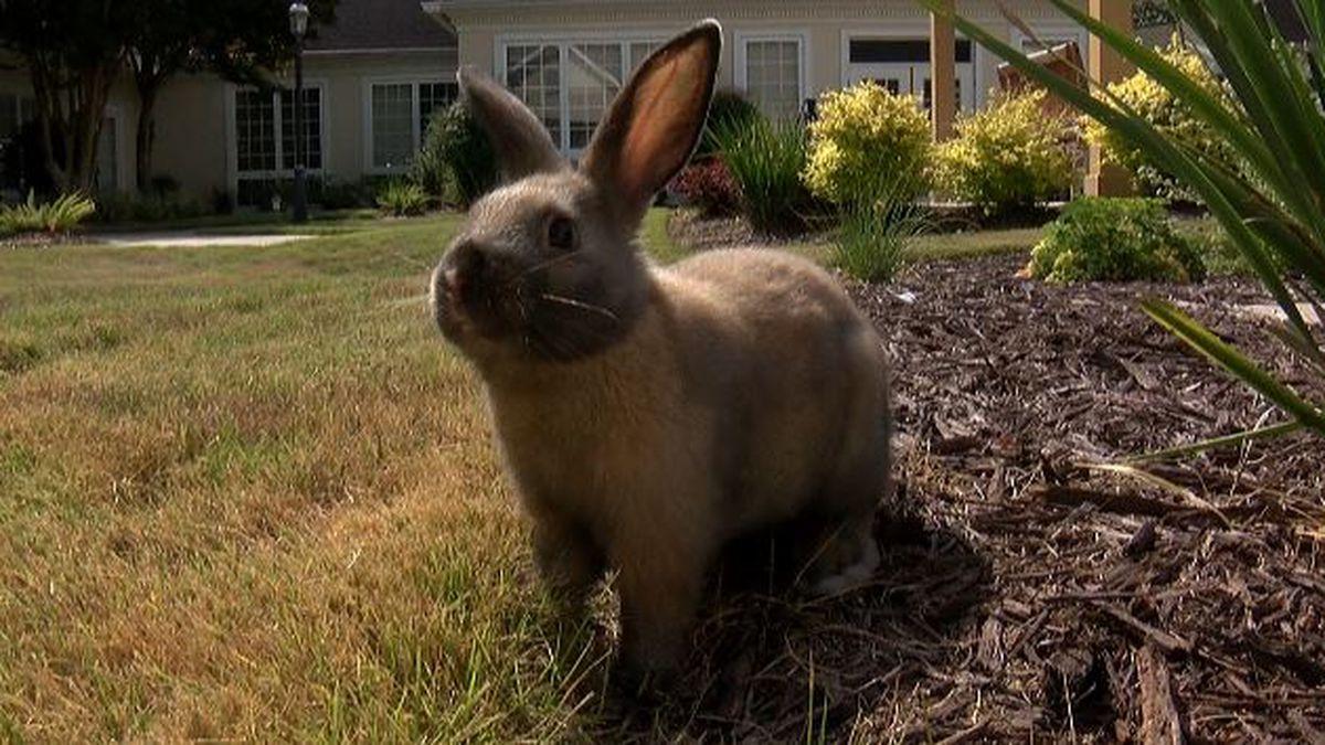 Radish the Rabbit