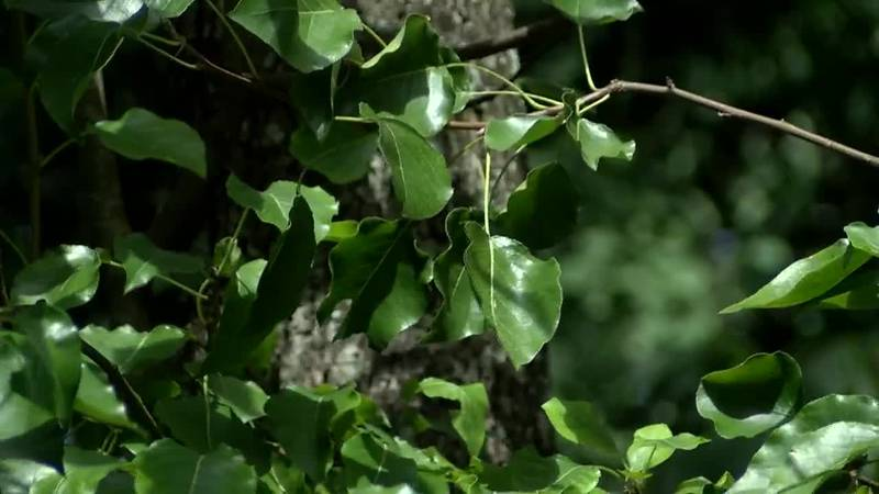 Re-thinking your next garden project after Bradford pear banned in S.C.