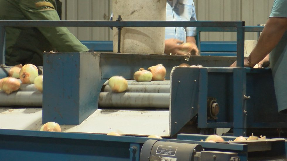The Herndon's were able to get the help they needed just in time to harvest Vidalia Onions.