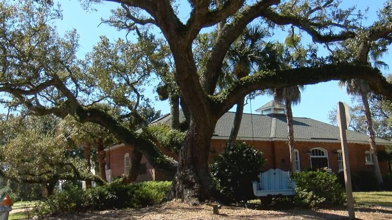 A large tree on Tybee Island.