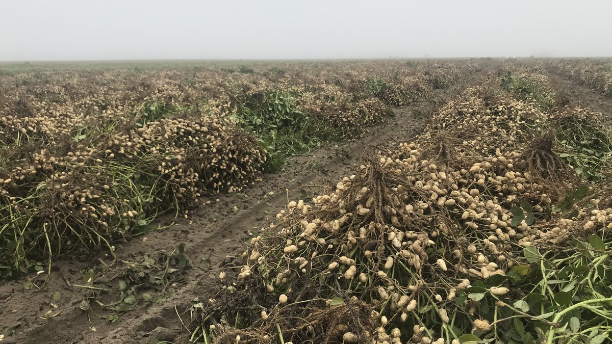 Despite the fog, the Boyd family continued with their peanut harvest. Thankfully the sun helped...