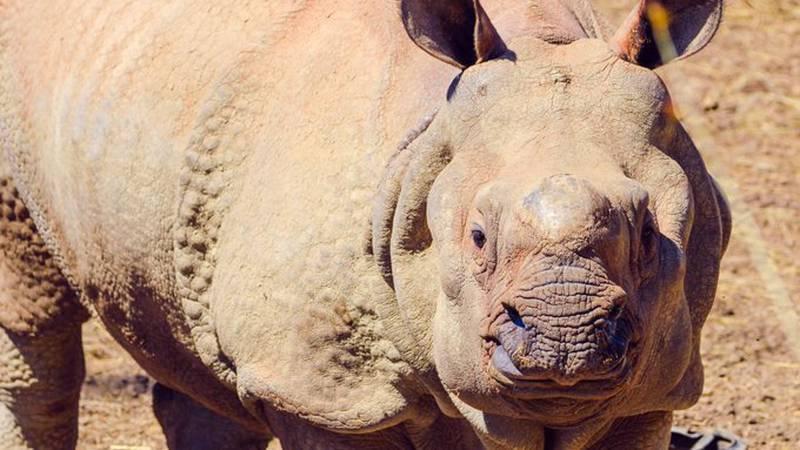 Jontu the rhino escaped his enclosure at Omaha's Henry Doorly Zoo & Aquarium on Tuesday...