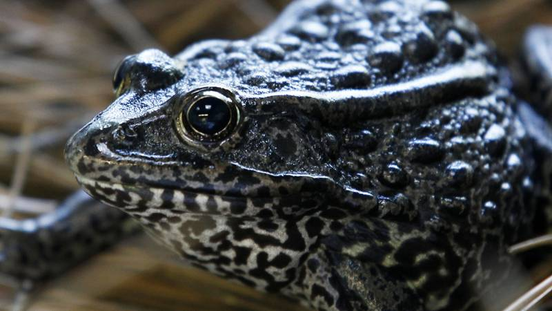 FILE - This Sept. 27, 2011, file photo, shows a gopher frog at the Audubon Zoo in New Orleans....